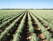 Pirelli: from rice to guayule